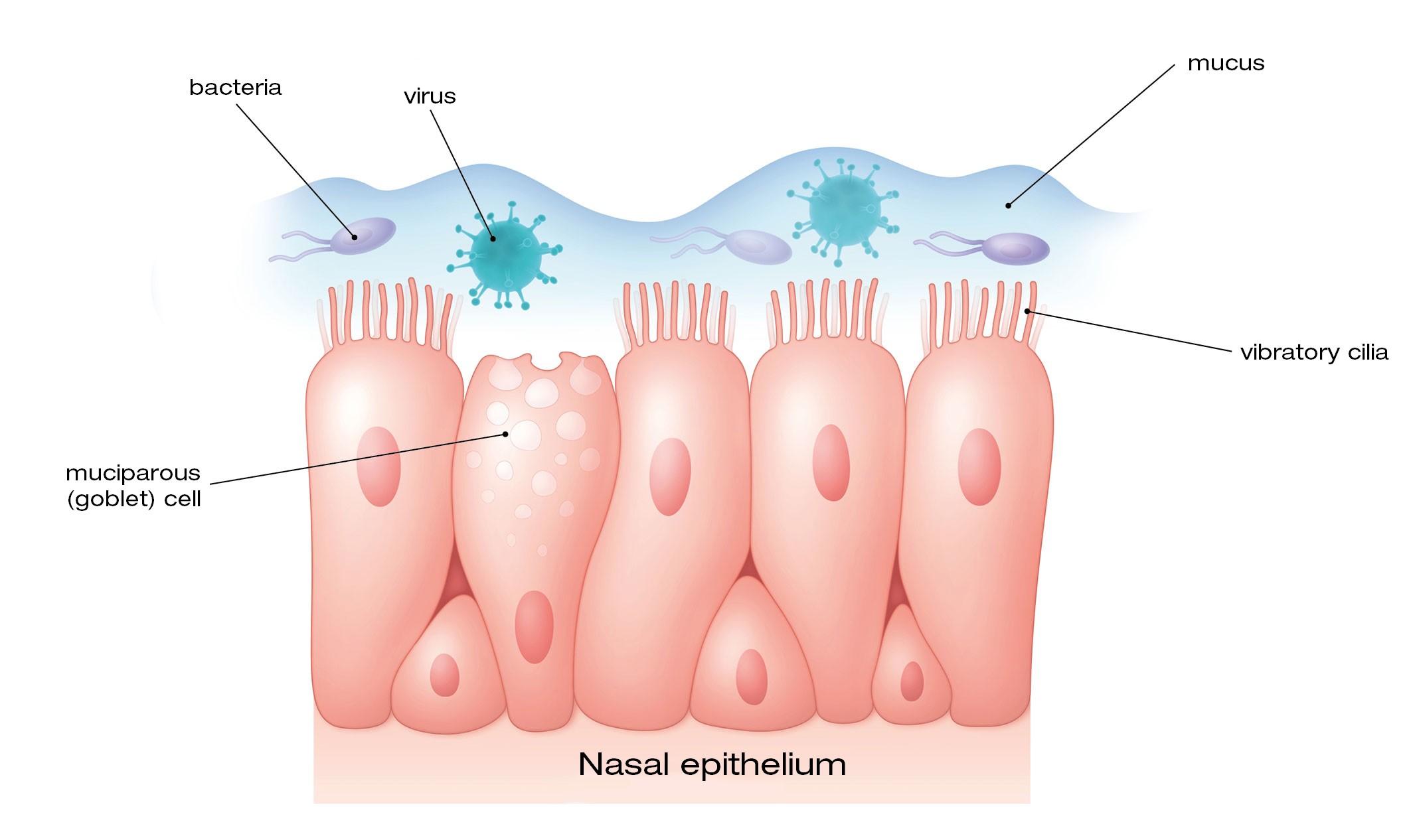 Immune System vs. Coronavirus
